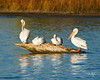 May I Join You? (dcstep) Tags: dsc9071dxo pelican pelicans americanwhitepelican resting log sonyalpha sonya9 fe100400mmf4556gmoss fe14xteleconverter cherrycreekstatepark cheery reservoir lakereservoir all rights reserved copyright 2017 david c stephens dxo optics pro 1142 natureurban urban nature sanctuary