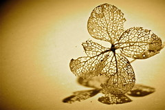 """Antique Lace - Macro Monday - """"Hard Light"""" (Explore Oct. 9/17) (not beck) Tags: macromonday macro sepia tint lace old hardlight sidelight negativespace hydrangea flower floret bloom blossom shadow lacy delicate tiny structure weathered golden"""