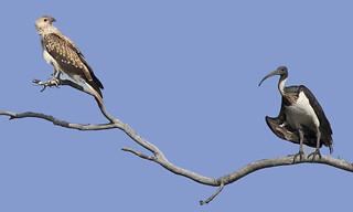 lagoon creek neighbours - whistling kite & straw-necked ibis