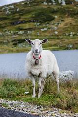 Sheep Shooting (wheelcorner) Tags: sheep shooting norway canon 5d 5d2 5dmk2 24105 roadtrip