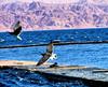 Eilat. Birds (michaelgordon1968) Tags: birds redsea eilat israel