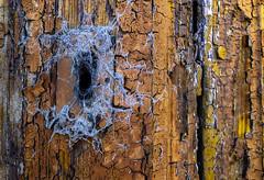 SPIDERDOOR (Walimai.photo) Tags: door puerta spider araña web tela madera wood zamora spain españa camino santiago plata vía lx5 lumix panasonic detail detalle granja de moreruela