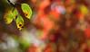 A Glorious Autumn Party (AnyMotion) Tags: birthdaypartyinthegarden peartree birnbaum virginiacreeper selbstkletterndejungfernrebe parthenocissusquinquefolia leaf leaves blatt blätter laub autumncolours herbstfärbung bokeh 2017 plant pflanze anymotion nature natur frankfurt garden garten 7d2 canoneos7dmarkii colours colors farben autumn fall herbst automne otoño ngc npc