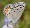 Acmon Blue (birding4ever) Tags: 5 acmonblue plebejusacmon illuminationsinthewild butterflydreams arborsquareanaturegroup dreamsilldream