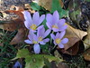 Crocus kotschyanus, Herbst-Krokus, Ring-Herbst-Krokus (julia_HalleFotoFan) Tags: crocus krokus crocuskotschyanus herbstkrokus herbst jahreszeiten