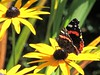 Landing Pad (Kevin Pendragon) Tags: redadmiral rudbeckia fulgida insect nectar pollinators outdoors summer sun sunshine nature yellow black red white amazing awesome butterfly wings