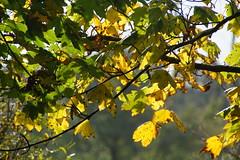Against the light (Steenjep) Tags: efterår løv leaf blad skov forest træ tree fall autumn ahorn maple sun sol lys light