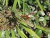 Red Dragonfly (sweetdaddyroses/aka/SDR) Tags: arboretum arcadiaca dragonfly insect turtlepond