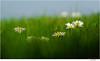 October Daisy blurred (Lutz Koch) Tags: gänseblümchen daisy blurred oktober october bellisperennis gras elkaypics lutzkoch blume wiese meadow flower