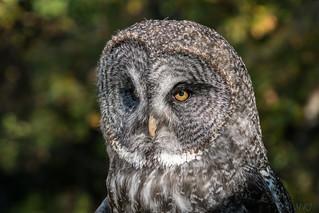 The Tallest Owl
