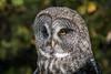 The Tallest Owl (MelRoseJ) Tags: sonyalpha sony sonyilca77m2 a77ii alpha autofocus nature lindseywildlifemuseum greatgreyowl owl sal70400g
