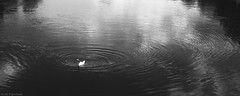 Peace (Anthony P26) Tags: animalsbirdsinsects birds category england herefordshire landscape places travel wilton riverwye reflections river water watercourse shadows blackandwhite mono monochrome swan bird float ripples waves repeatedpattern organicpattern circles canon1585mm canon70d canon outdoor travelphotography bw whiteandblack