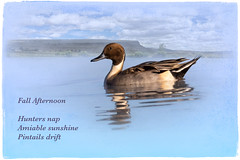 Northern Pintail ~ Fall Afternoon (Johnrw1491) Tags: birds photography zen poem poetry haiku