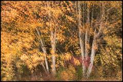 birchen glow (D J England) Tags: autumn fall brucepeninsula djenglandphotography trees canoneos7dmkii douglasjengland tree simpsonave djengland thebruce ontario southernontario dje colour tobermory sigma18300mmf3563dcmacrooshsmc