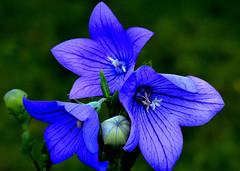 Rozwar wielokwiatowy. (andrzejskałuba) Tags: polska poland pieszyce dolnyśląsk silesia sudety europe panasoniclumixfz200 roślina plant kwiat flower rozwarwielokwiatowy largefloweredeel nature natura niebieski blue zieleń green garden ogród