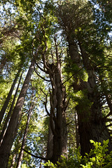 Hwy 101 CA-OR July 2018-6 (ntisocl) Tags: 2017 california californiacoast canon1dmarkiii hwy101 pacificnorthwest redwoodhwy treesofmystery redwoods roadtrip roadsideattraction trees