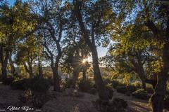 Forest and sun (Bilel Tayar) Tags: sun light forest tree nature yellow green sky landscape nikon nikond5200 tamron algeria mila ferdjioua lumiere soleil foret arbre paysage algerie ميلة الجزائر اشجار غابات شمس