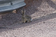A waskaly rabbit was watching us. Looks like a youngen (kschmidt626) Tags: coal train wyoming bnsf union pacific deer powder river bunny