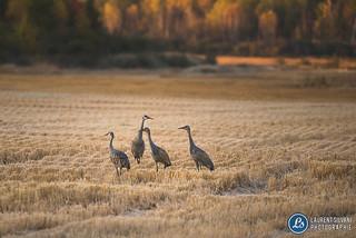 Grues du Canada - Sandhill cranes - Lac-Saint-Jean, Québec, Canada