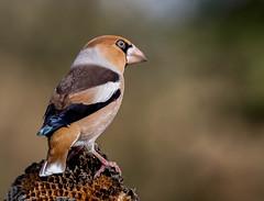 30 10 2017 (cathyk31) Tags: coccothraustescoccothraustes fringillidés grosbeccassenoyaux hawfinch passériformes bird oiseau