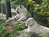 Wendy.nkkl - Zooparc Overloon (wendy.nkkl.) Tags: tiger whitetiger zooparcoverloon