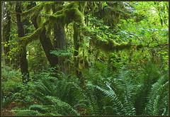 Rainforest (edenseekr) Tags: rainforest moss ferns greenery