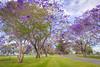 世外花径 (nzfisher) Tags: jacaranda tree trees blossom blossoms flower flowers 24mm canon spring season seasonality blue purple jimbour queensland australia