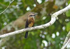 Jacamar Lúgubre, Brown Jacamar (Brachygalba lugubris) (Francisco Piedrahita) Tags: aves birds colombia lamacarena jacamarlúgubre brownjacamar brachygalbalugubris