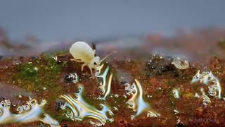 Sminthurides aquaticus (Kugelspringer) Collembola - Female