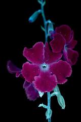 Skyflower 2 s (C. Burrows) Tags: uvivf flower botany nature skyflower