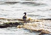 Brent Goose (_jons_) Tags: hilbreisland hilbre nature naturephotography wildlife wildlifephotography birds birding birdingphotography birdwatching birdphotography