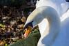 Animals. (ost_jean) Tags: canard gans nikon d5200 tamron sp 90mm f28 di vc usd macro 11 f004n ostjean portrait eend animal dieren animaux zwaan cygne closeup swan