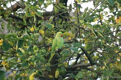 King of the garden (Neferubty) Tags: garden natur nature garten vogel bird halsbandsittich parakeet grün green baum tree blätter leafs