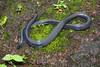Melanophidium khairei (Chaitanya Shukla) Tags: amboli amboli201408 blackshieldtailsnake khairesblackshieldtail macro maharashtra melanophidium melanophidiumkhairei reptilesandamphibiansofindia shieldtailedsnakes sindhudurga snakesofindia uropeltidae