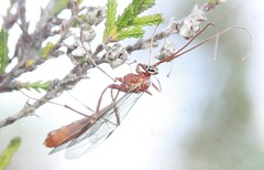 red ichneumon indet cf Ophion sp ichneumonidae (BSCG (Badenoch and Strathspey Conservation Group)) Tags: acm insect hymenoptera ichneumon ophioninae heathland heather