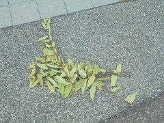 399 (en-ri) Tags: ramo bunch foglie leaves cemento verde sony sonysti
