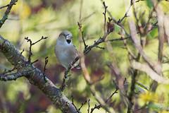 Grosbec casse noyaux (Tifaeris) Tags: coccothraustescoccothraustes fringillidés grosbeccassenoyaux hawfinch passériformes bird oiseau