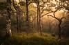 Woodland (Scott Robertson (Roksoff)) Tags: locheil lochlinnhe fortwilliam water trees forestry pine mood atmosphere larch misty fog landscape reflection autumn sea scottishhighlands scotland lochaber nikond800 nikond810 70200mmf28 leefilters