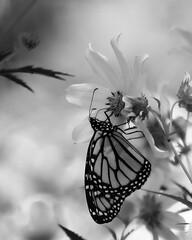 MonarchButterfly_SAF1437-2 (sara97) Tags: danausplexippus butterfly copyright©2017saraannefinke endangered insect missouri monarch monarchbutterfly nature outdoors photobysaraannefinke pollinator saintlouis towergrovepark monochrome bw blackandwhite blackwhite