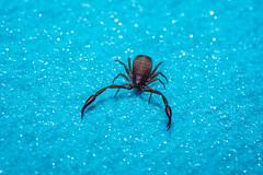 EM5B0624 (Teemu Paukamainen) Tags: pseudoscorpionida valeskorpioni hämähäkki macro raynoxdcr250 pseudoscorpion extrememacro olympusem5 olympus60mmf28 flash