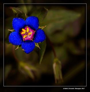 Morró 12 (Anagallis arvensis) Blue Pinpernel (Llutxent, la Vall d'Albaida, València, Spain)