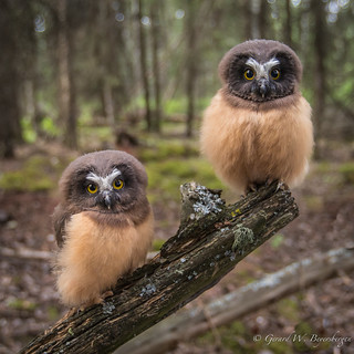 Northern Saw-whet Owls