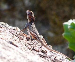 Peninsular Rock Agama (Psammophilus dorsalis) - Gingee fort