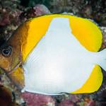 Pyramid Butterflyfish - Hemitaurichthys polylepis thumbnail