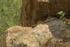 Mystery Smaug (zentience) Tags: lizard akkedis reptile reptiel herpetology herping herps cordylid cordylidae skurwejantjie