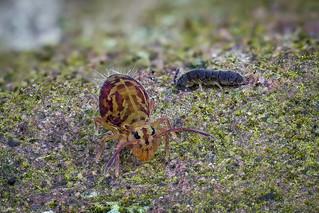 Dicyrtomina ornata (Kugelspringer) und ein Vertagopus arboreus (Springschwanz/Springtail) - Collembola