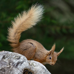 Red Squirrel - Brownsea Island (Mr F1) Tags: red squirrel browseaisland outdoors nature johnfanning animal fur fury cute tail bushy dorset uk rare threatened species wild