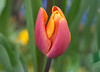 Spring Memory!! (Good Nature One) Tags: springmemory flower macro nature bloom tulip pink orange yellow green blue
