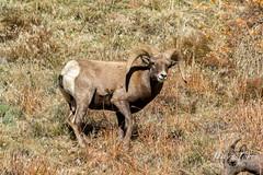 Bighorn Sheep ram following the ladies
