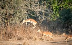 Impala in Flight #2 (sharon.verkuilen) Tags: africa zambia luambe impala antelope mammal running leaping animal sony a7rii
